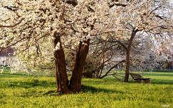 pad kertek és parkok virágzó fa tavasz
