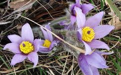 kökörcsin tavaszi virág vadvirág