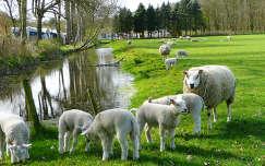 Holland, schaap en lammeren bij Huize Vogelenzang