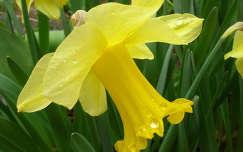 Nárcisz tavaszi eső után