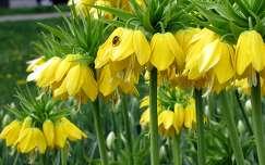 császárkorona tavaszi virág