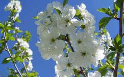 Meggyfám virágzása