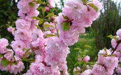 Rózsaszín gyönyörűség