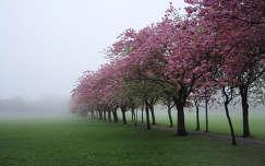 Skócia, Edinburgh, Meadows, Prunus serrulata
