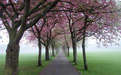 Skócia, Edinburgh, Meadows, Prunus serrulata fasor, köd, piros ruhás lány