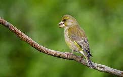 madár zöldike