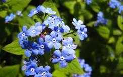 nefelejcs tavaszi virág