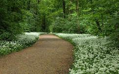 út virágmező tavasz erdő medvehagyma