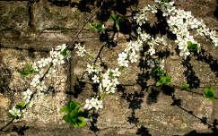 vadon virágzó gyümölcsfa