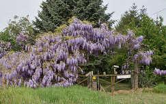 akácvirág tavaszi virág tavasz kerítés