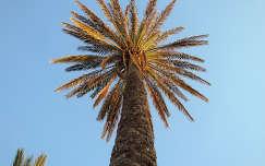 Tunézia Pálmafa