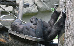 majomszeretet - Bongó
