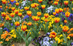 Pécsi tulipánok