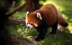 vörös panda panda