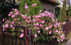 kapu rózsa