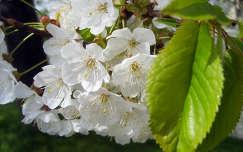 vadcseresznye virág