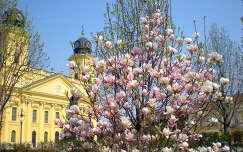 Magnólia - Nagytemplom - Debrecen