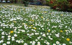 kertek és parkok virágmező vadvirág