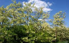 virágzó fa akácvirág fa tavasz