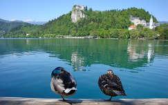 Szlovénia Bledi-tó kacsák