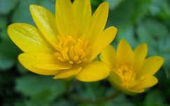 Kimagasló sárga virág