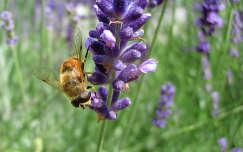 Méh munka közben