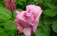 Lila rózsa májusi eső után
