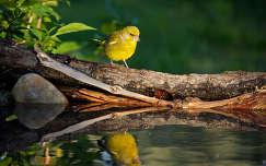 madár zöldike madárfióka tükröződés