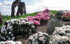kertek és parkok nochten rododendron tavaszi virág tavasz németország findlingspark