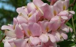 Rózsaszin akácvirág