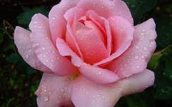 Rózsa a májusi eső után