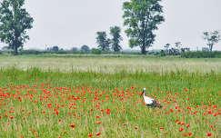 madár gólya virágmező vadvirág pipacs