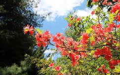 Magyarorsz�g, K�m, Jeli arbor�tum, rododendron