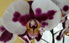 Pillangó orhidea