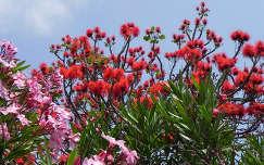 Virágzó bokrok Madeirán