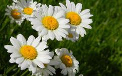 nyár margaréta nyári virág