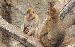 állatkölyök majom makákó