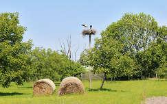Magyarország, Fertőszéplak, Falumúzeum, gólya-család
