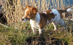 Kutya, kutyus, Jack Russel Terrier