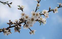 Mandulavirágok