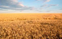 nyár kalász gabonaföld