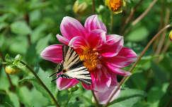 dália nyári virág lepke fecskefarkú lepke nyár