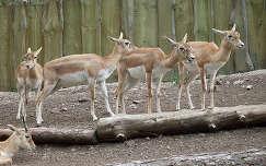 Magyarország, Veszprém, Állatkert, indiai antilopok