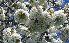 Cseresznyefa virágai