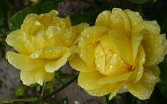 Sárga rózsa eső után