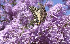 tavaszi virág orgona lepke tavasz fecskefarkú lepke