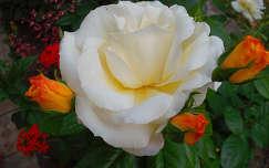 Kinyílt és bimbós sárga rózsa - fotó: Kőszály