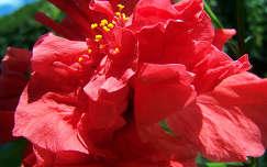 Hibiszkuszom virága