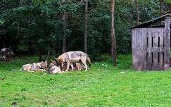 Magyarország, Veresegyháza, Medveotthon, farkasok