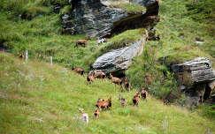 Hegyikecskék a Hohe Tauern Nemzeti Parkban